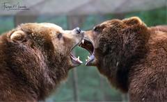 BÄRENBRÜDER/BEAR BROTHERS (babsbaron ( Bella )) Tags: nature tiere animals wildtiere wildanimals raubtiere predators säugetiere mammals bären bears kamschatka wildpark animalpark tierpark lüneburgerheide canon