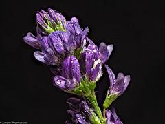 Klein und unscheinbar am Wegesrand (J.Weyerhäuser) Tags: heliconfocus makro stack studio tropfen wegrand lila