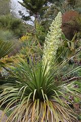 Nolina nelsonii - Tremenheere (vireyauk) Tags: nolinanelsonii nolina nelsonii tremenheere garden cornwall