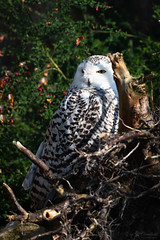 Snowy owl behind a root (Cloudtail the Snow Leopard) Tags: schneeeule tier animal vogel bird eule scandiacus buboscandiaca nyctea snowy owl zoo stadtgarten karlsruhe