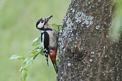 Veliki detel (natalija2006) Tags: veliki detel great spotted woodpecker dendrocopos major picidae žolna wildlife nature narava slovenia