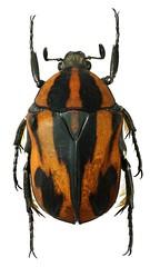 Atrichiana placida (dries.marais) Tags:
