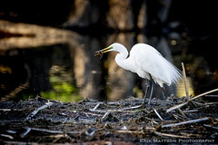 Tasty Fish Dinner (Turn to Clear Vision) Tags: bird nature egret wildlife pond lake fishing evening minnesota minneapolis sony a73 150600mm