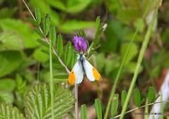 Orange-tip (Male) (pete Thanks for 5 Million Views) Tags: orangetip male