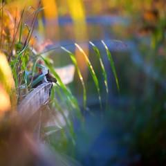 The flying meatball (pakerholm) Tags: wren eurasianwren meatball köttbulle gärdsmyg vass reed sigma150600 sigma150600f563dgsports sigma150600mmf563 sigmasport sigma 150600 600 nikon d600 d610 nikond600 nikond610 fullframe fullformat fågelskådning ornitologi ornithology birdwatching birds bird fågel fåglar linnut lintu wildlife animals vildadjur nyköping svanviken sverige sweden nordiccountries norden