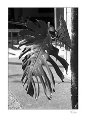 Monstera (radspix) Tags: olympus om10 2885mm vivitar korobi f3545 ilford fp4 plus pmk pyro