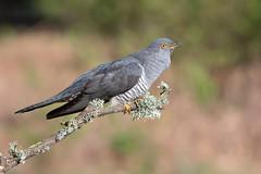 Cuckoo-1035 (davidgardiner8) Tags: birds cuckoo surrey thursleycommon