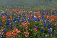 Texas Spring_MG_6211 (Alfred J. Lockwood Photography) Tags: alfredjlockwood nature landscape flora bluebonnetfield indianpaintbrush morning spring fog ennis texas flowers