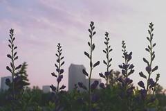 Salvia Skyline (Preoccupine) Tags: scioto audubon metro park columbus oh ohio salvia flowers wildflowers flower purple skyline buildings sky nature outdoor landscape close up