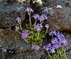 Fairy Foxglove, Erinus alpinus