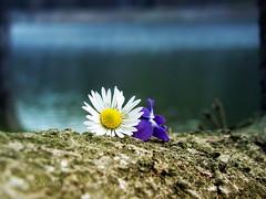 Together, it's better (R_Ivanova) Tags: nature macro flower flowers colors color water wood outdoor spring sony rivanova риванова растения цветя цветно цвете цветове макро вода fav20