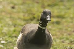 Black Brant Goose - Branta bernicla nigricans (stuboy72) Tags: black brant goose branta bernicla nigricans