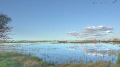 Geese Flying Over the Wetlands (randyherring) Tags: ca california centralcaliforniavalley cosumnesriverpreserve elkgrove afternoon aquaticbird nature outdoor recreational waterfowl wetlands