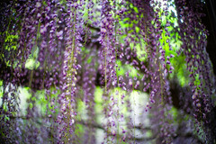 Holding On (moaan) Tags: tamba hyogo japan flower flowering flora floweringplant wisteria wisteriaflowers hanging above fromabove closeup focusonforeground selectivefocus dpf bokeh bokehphotography leica leicamp type240 noctilux 50mm f10 noctilux50mmf10 leicanoctilux50mmf10 utata 2019
