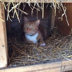 cat in the chicken coop (ekpatterson) Tags: 2019 may hamish cat orangetabby chickencoop nestingbox