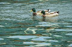 Mallards:  16.5.19. (VolVal) Tags: dorset bournemouth tuckton ducks mallards river drakes may