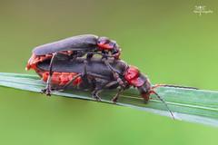 Cantharis fusca- Omomiłek szary, omomiłek pryszczawka. (Remo-Fotografia) Tags: tags insect macro photography garden animal insects remofotografia remigiusz nowakowski spider