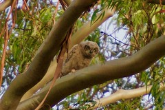 _MCW6973 (MCW Photography 1) Tags: big horned owl family sycamore grove