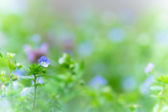 fairyland (hitohira_) Tags: flower flowers n nature bokeh macro