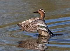 IMG_5662 Garganey (Dennis Swaby) Tags: bird duck wildfowl garganey