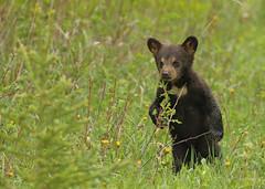 Black Bear cub...#48 (Guy Lichter Photography - 5.1M views Thank you) Tags: canon 5d3 canada manitoba wildlife animal animals mammal mammals bear bears blackbear cub