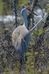 Grue du Canada-Sandhill Crane- Grus canadensis (Gilbert Rolland) Tags: grueducanada sandhillcrane grus canadensis