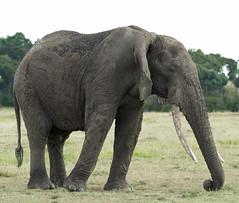 African Bush Elephant (Loxodonta africana) (garryfowle) Tags: elephant africanelephant bull animal wildlife kenya safari africa mammal tusk trunk male big savannah