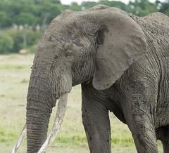 A lot of wrinkles (garryfowle) Tags: loxodonta africana bull elephant grey africanelephant safari kenya africa animal mammal wildlife big5