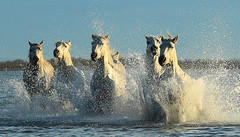 I'm currently on a short photographic tour south of France in the Camargue with the photographer Tim Mannakee  (https://www.timmannakee.com/) to shoot white horses, black bulls and flamingos. (lotusblancphotography) Tags: france camargue nature animal horses chevaux eau water