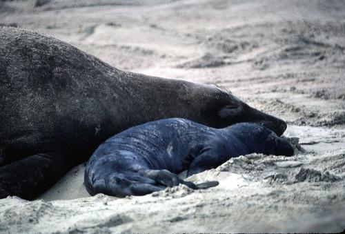 Elephant seal mom and pup at Ano Nuevo 12-83