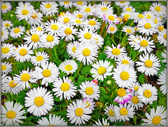 Ooopsie......... (Jason 87030) Tags: daisy daisies petals flowers small little whiute yellow grass ground low composition frame border nature pretty cool give me your answer do givemeyouranswerdo spread floral