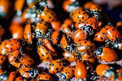 Is It Coincidence? (Thomas Hawk) Tags: america bayarea california coccinellidae eastbay ladybird ladybirdbeetle oakland sfbayarea usa unitedstates unitedstatesofamerica westcoast beetle ladybug ladybugs norcal fav10 fav25 fav50 fav100