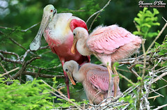Everything in the garden is rosy (Shannon Rose O'Shea) Tags: shannonroseoshea shannonosheawildlifephotography shannonoshea shannon roseatespoonbill roseatespoonbills bird birds three chicks pink spoonbill nest trees leaves plataleaajaja staugustinealligatorfarmzoologicalpark wadingbirdrookery rookery feathers beaks babies babybird redeyes staugustine florida nature wildlife waterfowl wadingbird outdoors outdoor outside colorful colourful wild wildlifephotography wildlifephotographer wildlifephotograph art photo photography photograph skinnylegs flickr wwwflickrcomphotosshannonroseoshea smugmug femalephotographer girlphotographer womanphotographer shootlikeagirl shootwithacamera throughherlens camera canon canoneos80d canon80d canon100400mm14556lisiiusm eos80d eos 80d 80dbird canon80d100400mmusmii 2019 closeup close birdphotographer naturephotographer canongirl