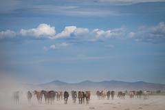 Wild Horses (Jami Bollschweiler Photography) Tags: stallions wild horses photography black white onaqui herd foal baby mare band
