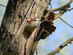 Red-bellied Woodpecker (John Vohs) Tags: heinznwr redbelliedwoodpecker