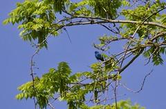 Indigo Bunting (Liam A. Hart) Tags: birds migration spring wildlife nature pennsylvania