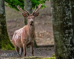 Red deer stag (Cervus elaphus)-9802 (George Vittman) Tags: animals nature photography yonne france deer stag maledeer wildlifephotography jav61photography jav61