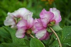 Bashful (KaDeWeGirl) Tags: newyorkcity bronx botanical garden nybg rockgarden flowers petals rain raindrops spring