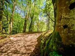 Birnam Wood pathway (grahamrobb888) Tags: birnamwood birnam woods woodland perthshire scotland spring sunny nikon nikkor d500 nikond500 nikkor105mmf18 fisheye fisheyelens