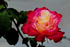 Stunning Color (iseedre) Tags: flower rose red nature horsepark garden varigated petals