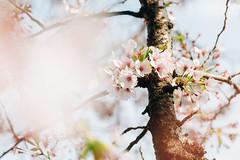 IMG_0692 (Ming Yam) Tags: arima japan kansai sakura flower april 日本 natural canon 24105 有馬 櫻 花 春