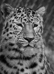 Léopard de l'Amour (WiiiKa) Tags: animaux parc zoo chat cute leopard tiger