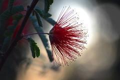 Light Show... (jeffr71) Tags: flower bottlebrush bokeh macro red light nature preserve arizona gilbert