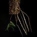 [Philippines] Dendrobium victoriae-reginae Loher, Gard. Chron., ser. 3, 21: 399 (1897)