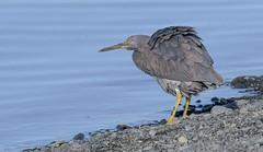 Reef Heron (njohn209) Tags: birds d500 nikon nz