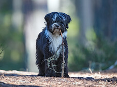 "Tibetan Terrier (coopsphotomad) Tags: dog pet animal stick bokeh canon outdoor woods tibetan ""tibetan terrier"" pose portrait sun light"