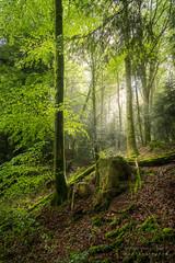 A9903000_s (AndiP66) Tags: wald forest woods bäume trees natur nature morgen morning spring grün green glashütten schweiz switzerland sony alpha sonyalpha 99markii 99ii 99m2 a99ii ilca99m2 slta99ii sigma sigma24105mmf4dghsmart sigma24105mm 24105mm art amount andreaspeters frühling
