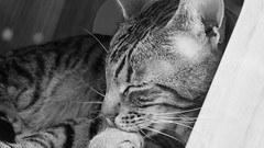 Maison de Moggy 03 (byronv2) Tags: edinburgh edimbourg scotland blackandwhite blackwhite bw monochrome grassmarket oldtown sunny sunshine sunlight cat cats moggy pussycat gatto chat sleeping nap napping cute content feline maisondemoggy catcafe cafe