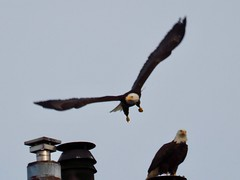 Eagle Landing (Irene, W. Van. BC) Tags: eagle baldeagles alleagles localeagles birdsofprey bcbirds pacificcoastbirds largebirds birdsofafeather birdwatch nestingeagles awesomenature wildlife wildbirds chimney chimneys roof rooftops 1001nightsthenew 1001nightsmagiccitythenew 1001nightsmagicpeacock