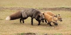 Black Vixen with Two Kits (Wayne Duke 76) Tags: momandkits foxes family colourcombo